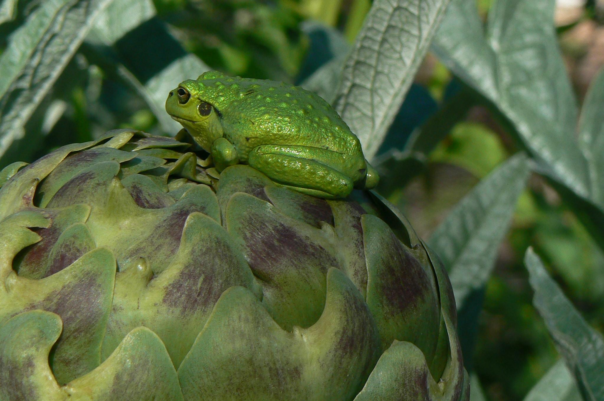 Motorbike frog in garden